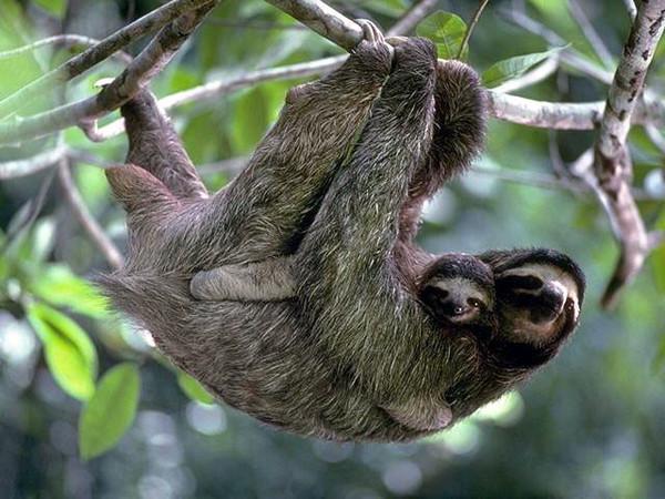 Ленивец: добрый и прекрасный. Экзотические животные.