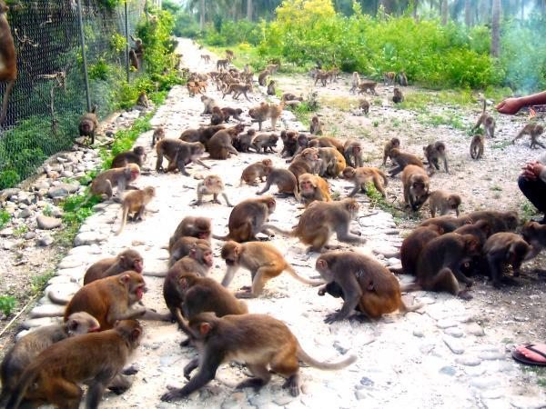 Что нужно знать об острове обезьян в Тайланде. Тайланд.